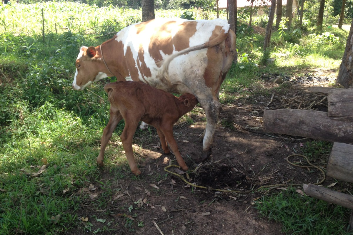 Welcome to our new calf!!!